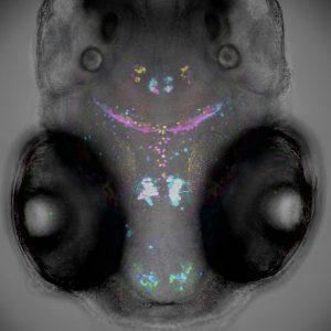 Zebrafish head
