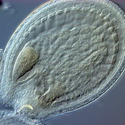 Arabidopsis embryo