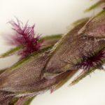Bermuda grass flower