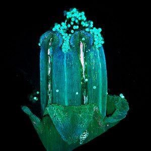 Corepopsis disc floret