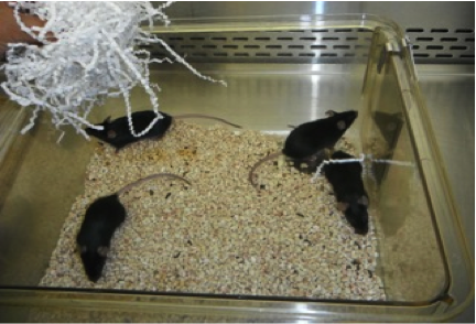 C57BL/6 commonly known as B6 mice at NCSU. Photo By: Megan Serr