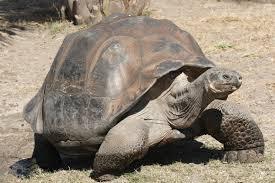 Galapagos Tortoise Photo Courtesy of Wikipedia