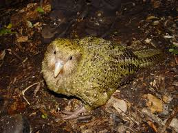 The Kokapo of New Zealand is critically endangered and releasing more rodents to control the current rodent population could cause the extinction of this bird. Photo: Courtesy of Wikipedia