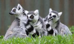 Madagascar Lemurs Photo Courtesy of Wikipedia