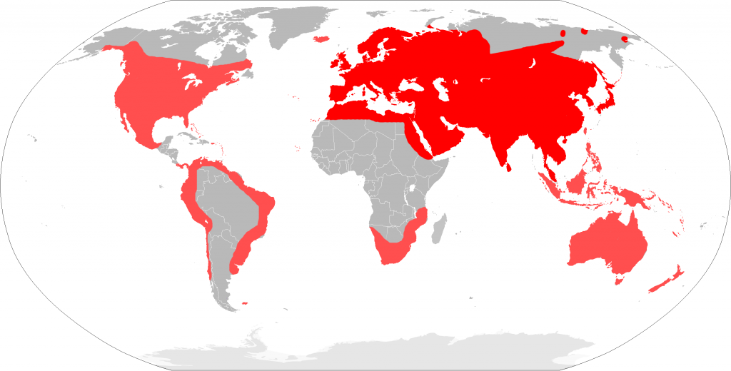Distribution of the house mouse (Mus musculus) Photo Courtesy of Wikipedia