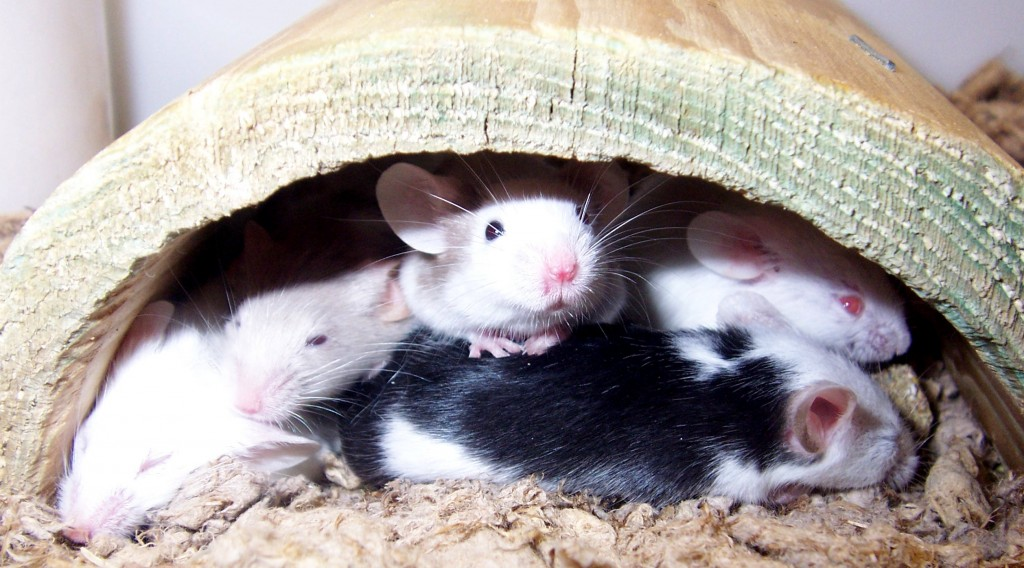House mice have been bred to show large amounts of phenotypic variation. Photo Courtesy of Wikipedia