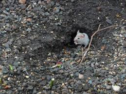 Invasive mice image