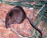 kiore (R. exulans.)