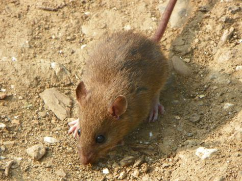 The brown rat is a common island invasive, but also a common pet. Photo: Courtesy of Wikipedia