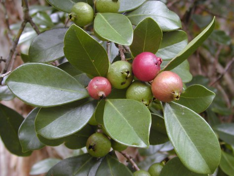 The strawberry guava (Psidium cattleianum) is invasive in Hawai'i. But it has existed on the island for generations and was given the native Hawaiian name waiwi. </br> Photo: By Forest and Kim Starr.
