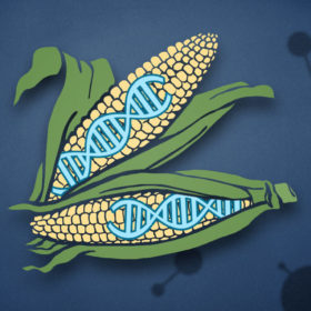 Graphic of corn cobs with DNA
