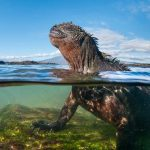 Marine iguanas of the Galápagos are vulnerable to feral cats and other invasive predators. Credit: Tui de Roy, Scientific American