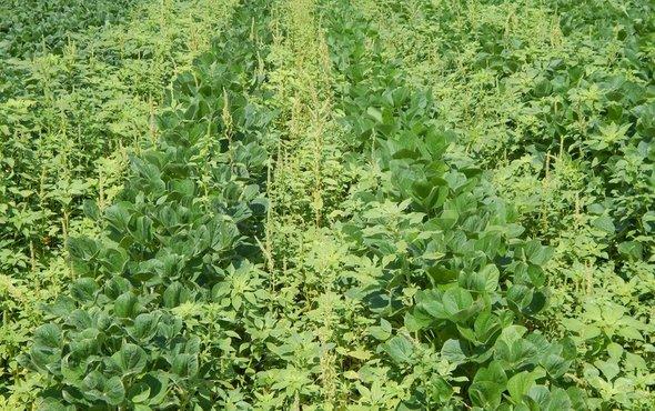 Kuzma in Scientific American article: Weeds Are Winning in the War against Herbicide Resistance