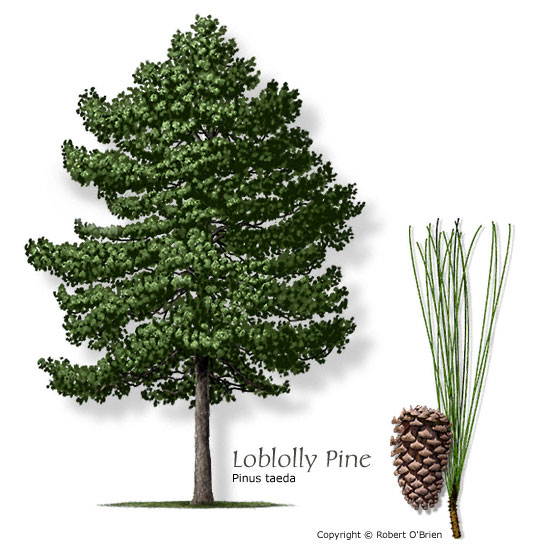 pine_loblolly