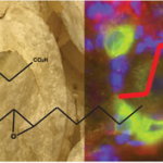 Article image - fatty acids