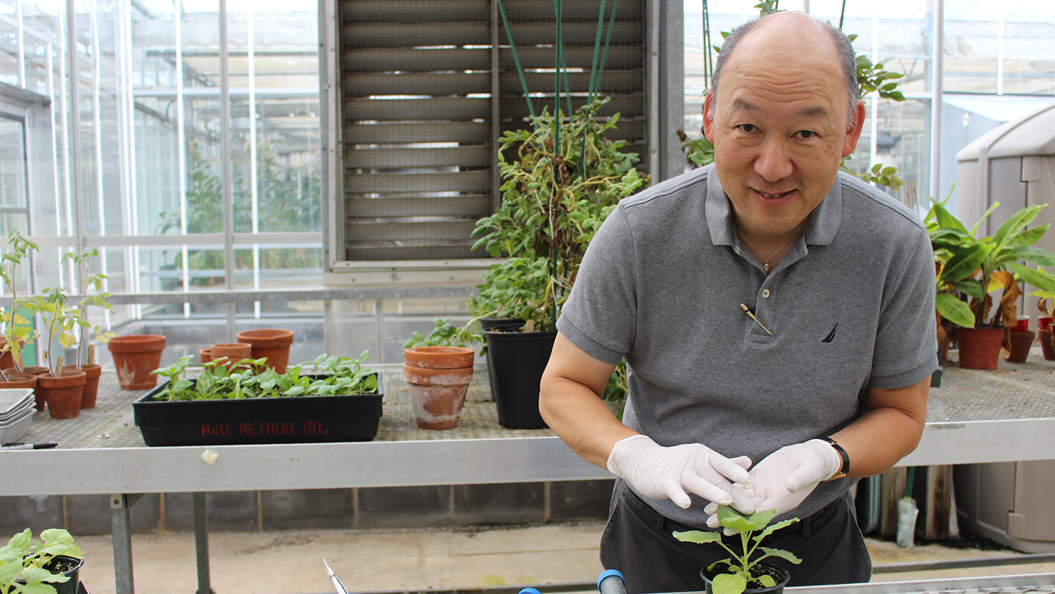 Man wearing rubber gloves touches a plant in a greenhouse.