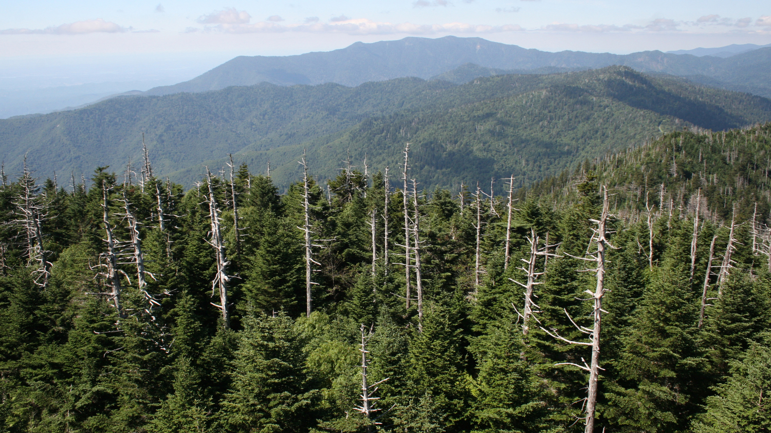 Skeletonized Fraser fir trees in the forest on the summit of Clingmans Dome in Great Smoky Mountains Mountains National Park.